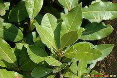 Usos medicinales y aplicaciones curativas del laurel for Lista de arboles perennes