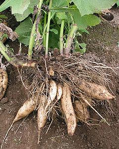 manzanas asadas acido urico plantas medicinales para gota acido urico bajar acido urico alto