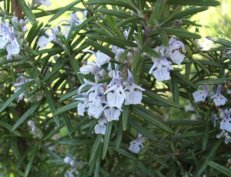 6 plantas para un solo prop sito quitar arrugas for Mezclas de plantas medicinales