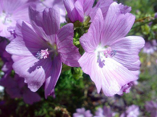 Baño Turco Sirve Para Adelgazar:Remedio de malva y marrubio para las hemorroides – plantasParaCurar