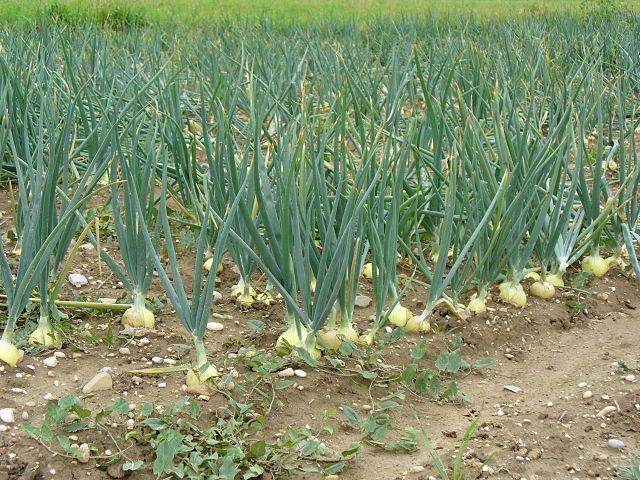 cómo cultivar cebollas en casa - plantasparacurar