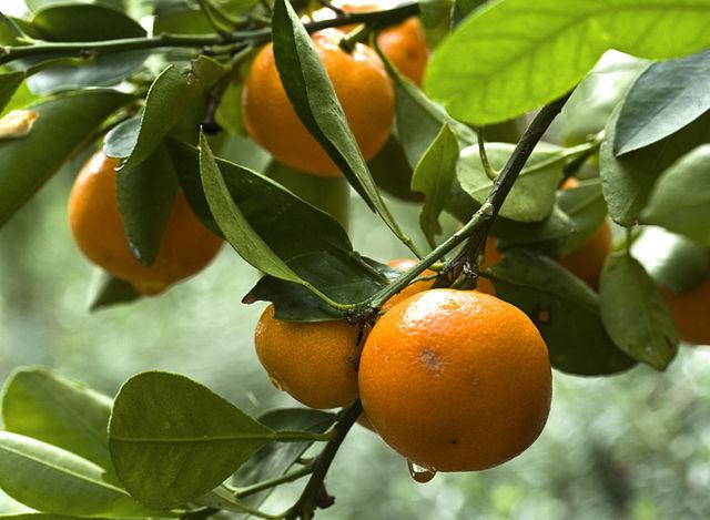 C mo tener un rbol de naranjas for Como obtiene su alimento un arbol