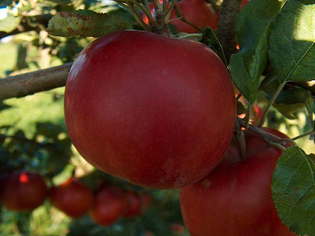 Rbol de manzano c mo es y c mo se cultiva for Como se planta la lavanda