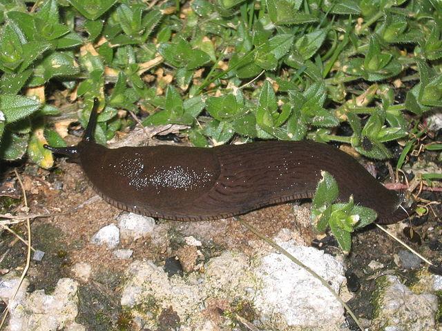 Elimina babosas y caracoles con chile y ajenjo for Caracoles de jardin que comen