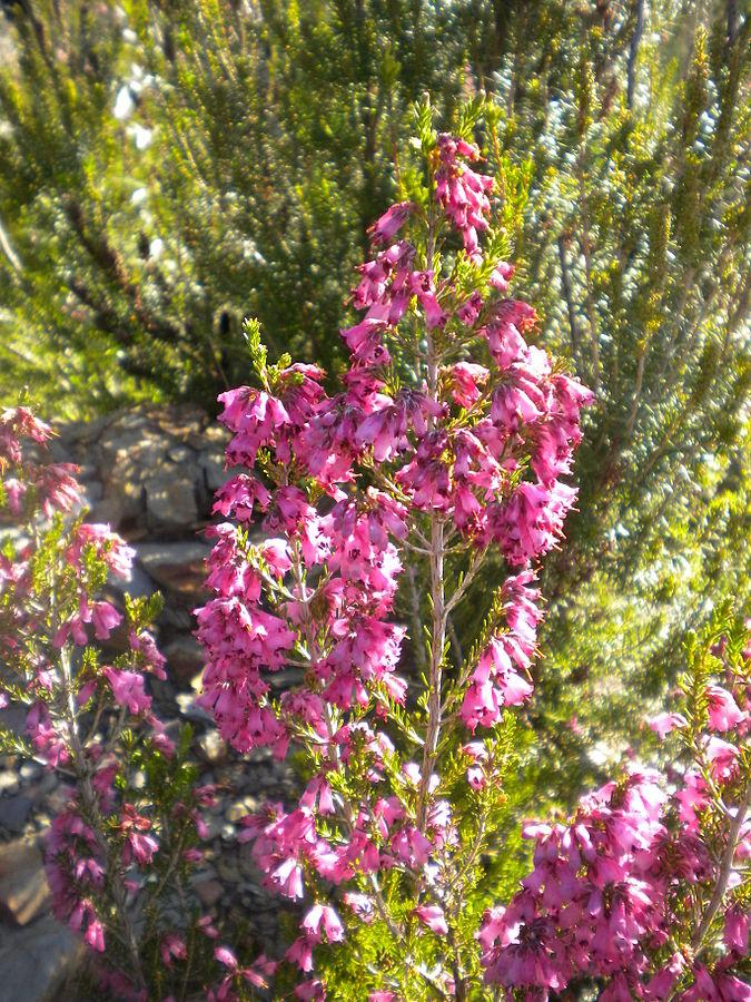 Cultiva en tu jard n el brezo una planta con grandes for Planta decorativa con propiedades medicinales
