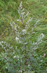 577px-ArtemisiaVulgaris