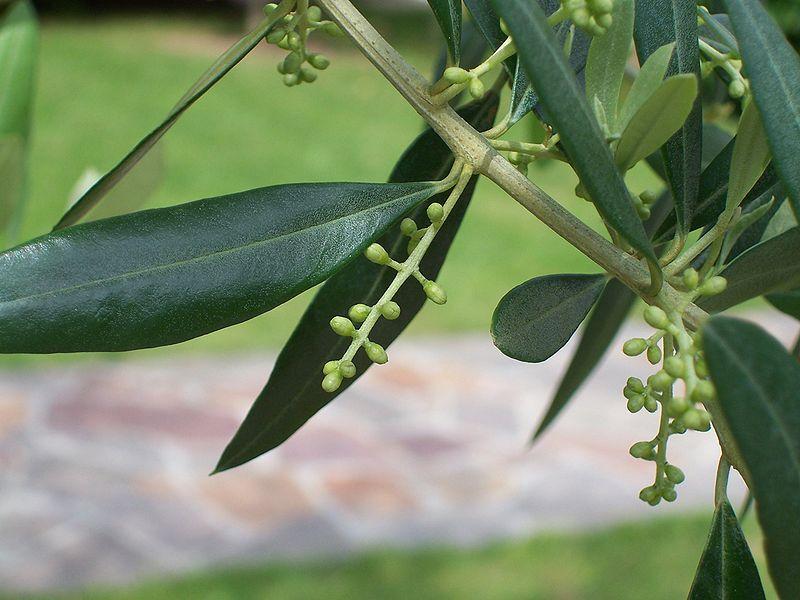 Contraindicaciones del olivo - Malattie limone fumaggine ...