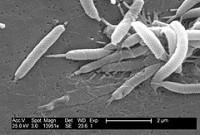helicobacter