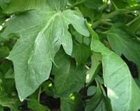 hojas de tomate
