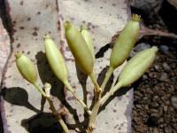 árbol de quino