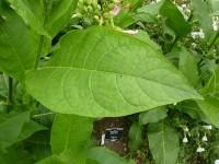 640px-P1000483_Nicotiana_tabacum_(tobacco)_(Solanaceae)_Leaf