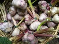 Garlic_(4700715953)