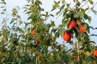 Stemilt_Orchards