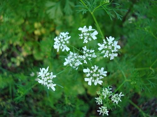 640px-Coriandrum_sativum_Blossoms3