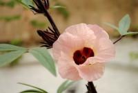 Flor_de_Jamaica_(Hibiscus_sabdariffa)
