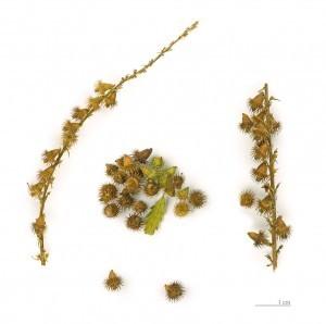 906px-Agrimonia_eupatoria_MHNT.BOT.2004.0 (1)